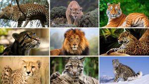 """When is a big cat not a """"Big Cat""""?"""