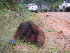 Disorientated and displaced orangutan in search of food, is rescued along a road in East Kalimantan ©Borneo Orangutan Survival Foundation