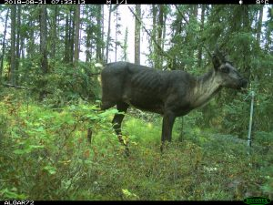 A boreal woodland caribou in northeastern Alberta, where caribou populations face habitat loss and increased predation from industrial development similar to that faced by southern mountain caribou.